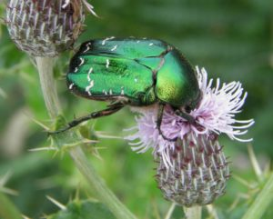 Rose Chafer on the Devon coast