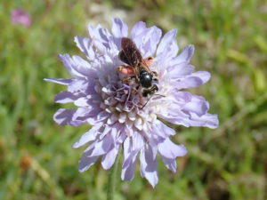 Large Scabious Mining Bee female at Grangelands - photo by Martin Harvey