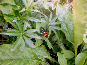 Newly emerged Scarlet Tigers