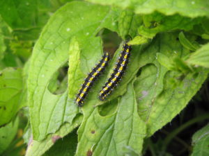 Scarlet Tiger caterpillars on Green Alkanet