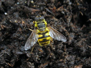 Adult 'Batman Hoverfly', Myathropa florea