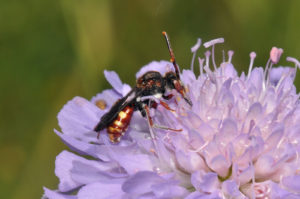 Armed Nomad bee, female, at Dry Sandford Pit - photo by Peter Creed